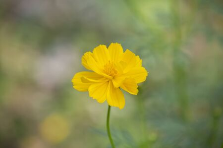 Yellow Cosmos or Sulfur Cosmos Flower.