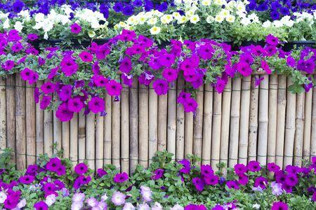 Petunia flower and bamboo background. Фото со стока