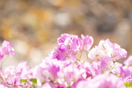 Bougainvilleas with in nature with blurred background. Paper flower  Фото со стока