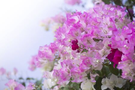 Bougainvilleas with in nature with blurred background. Paper flower