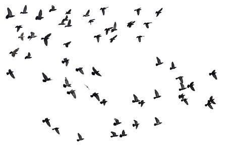 Bandadas de palomas voladoras aisladas sobre fondo blanco.