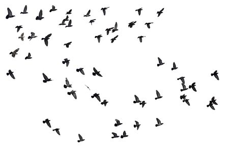Stormi di piccioni volanti isolati su sfondo bianco.
