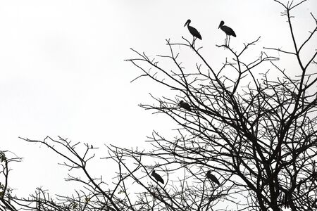 Dead branches, Silhouette dead tree or dry tree  with birds on white background.