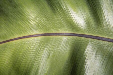 Asplenium nidus background. Leaf background concept.
