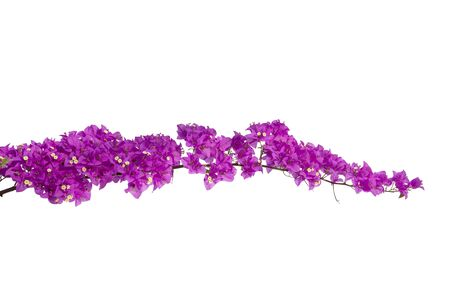 Bougainvilleas isolated on white background. Paper flower