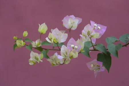 Bougainvilleas with in nature with blurred background. Paper flower . Фото со стока
