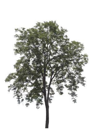 Burma padauk tree on white background. Tree isolated on white background. Фото со стока