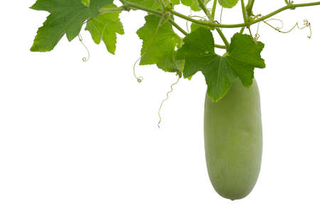 Winter gourd or Ash gourd isolated on white.