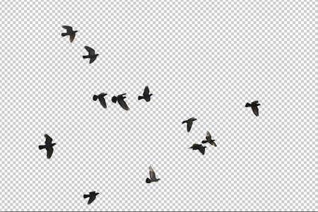 Flocks of flying pigeons isolated on white background.