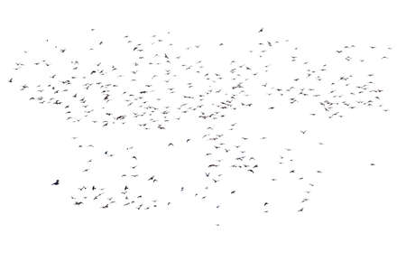 Flocks of flying pigeons isolated on white background.