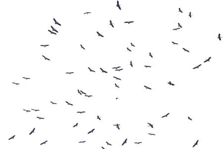 Flocks of flying birds isolated on white background.