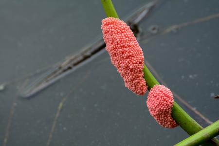 Golden Apple Snail in water