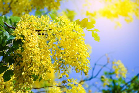 Cassia fistula flowers , Golden shower  on blue sky Stock Photo