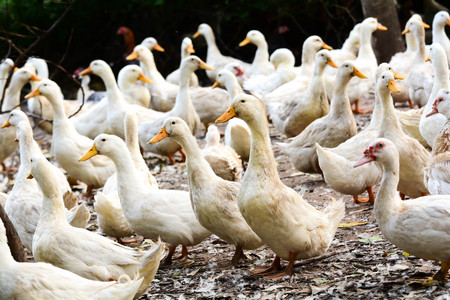 white ducks in a group Stock Photo