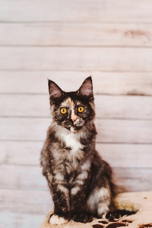 tortoiseshell: Maine coon kitten closeup portrait. Tortoiseshell cat sitting on natural background with wary ears. Grey color curious pet. Stock Photo