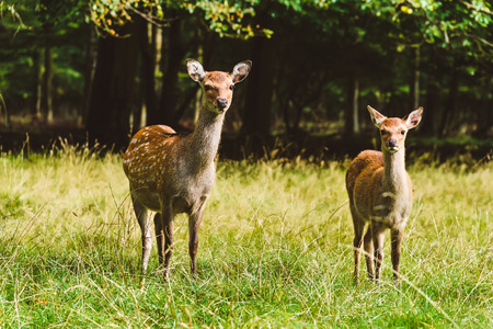 mother and baby deer: Wild deers pair in Jaegersborg Dyraehaven - forest park in Klampenborg, Copenhagen. Nature reservation in Denmark.