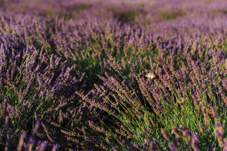 Butterfly on blooming lavender field with purple flower bushes in Vojvodina, Serbia. Summer floral bloomfield with violet herbs closeup view. Blossoming french lavender meadow in golden evening light.