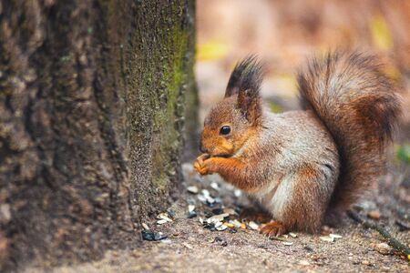 Ginger Squirrel in Belarus Autumn Forest Park 写真素材