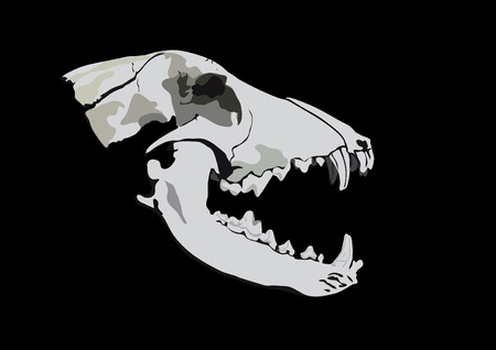 Old skull of a predator-dog or the wolf on a black background