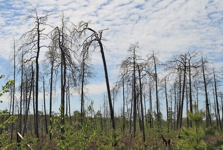 Severe Siberian taiga-old and young trees  photo