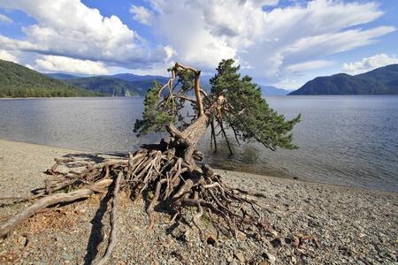 inclined: The inclined pine on lake Teletskoe, Altai, Siberia   Stock Photo