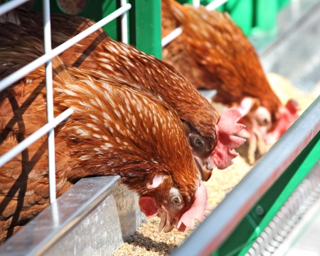 Red chickens in a cage near the feeder Banque d'images