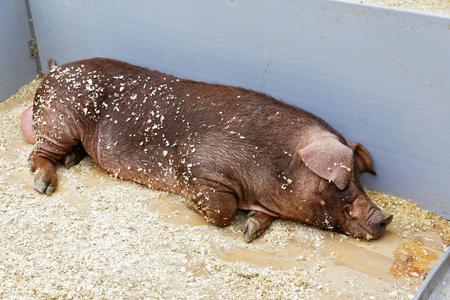 hog: Young hog in a pen resting