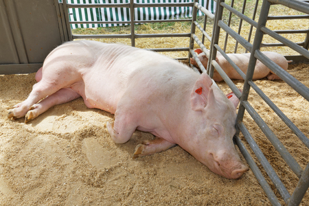 omnivore: Boar and a piggy  resting in the pen