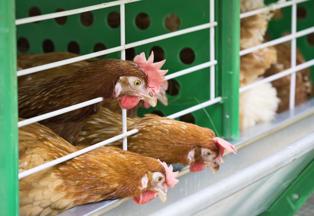 third world: Three red chicken on a farm puzzled look at the bird feeder  Stock Photo