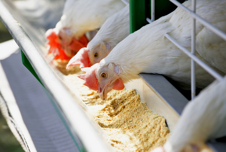 Group of white hens pecking fourages from the trough Stock Photo
