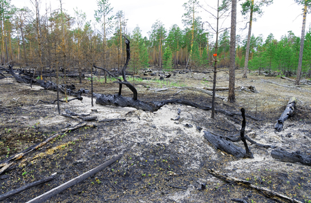 Siberia.The consequences of a fire in the forest