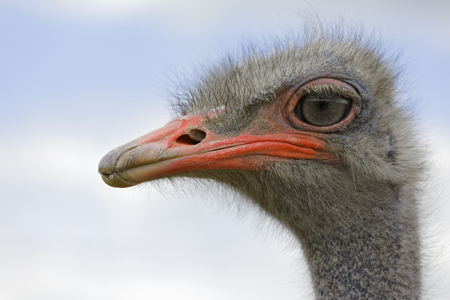 The head of an African ostrich