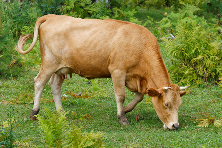 Red cow grazing in ecological Altai pasture