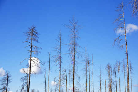Lonely trunks of dry coniferous trees against the blue sky as background