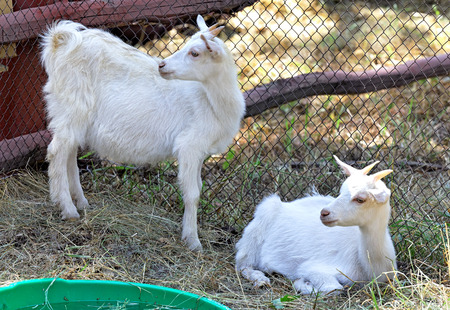 Two white goats grazing in a paddock on the farm
