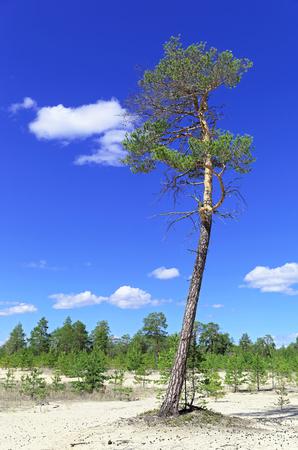 Big glade in the Siberian taiga.High pine on the background of undergrowth and saturated blue sky