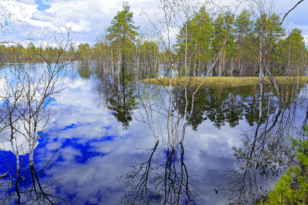 Flooded in the spring high water in Siberia. Birches growing in the water and their reflections Stock Photo