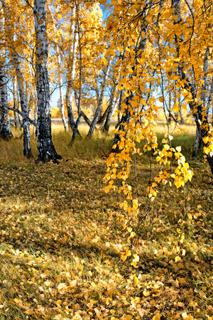 The end of autumn in the Siberian birch forest