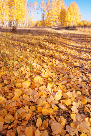 Soil covered with fallen birch leaves in autumn forest