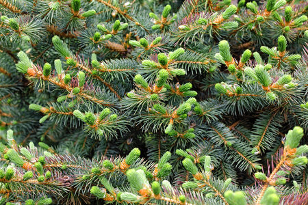 Young spruce shoots as Christmas wallpaper Foto de archivo