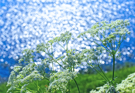 Wild-growing plant cow parsnip Siberian in natural conditions over the river Ob