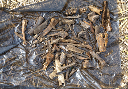 Remains of medieval animals killed and eaten by people in the 14th-17th century