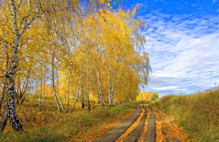Autumn country road littered with fallen birch foliage Foto de archivo
