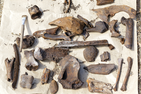 Archaeological finds extracted from the soil laid out to dry. Bones and teeths of various medieval animals found on the habitat of people in Siberia