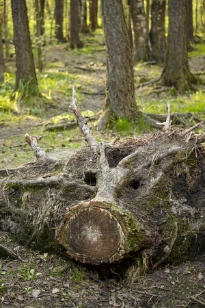 The root of the tree, like the snout of a pig