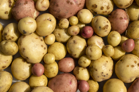 A lot of yellow and pink potato tubers in the whole frame