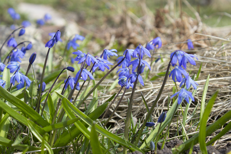 The first spring blue flowers, snowdrops, muscari reach for the sun