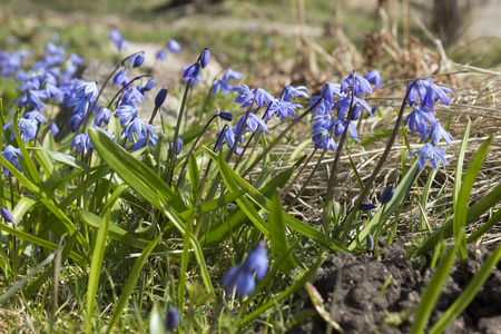 The first spring blue flowers, snowdrops, muscari reach for the sun. Plowed soil.