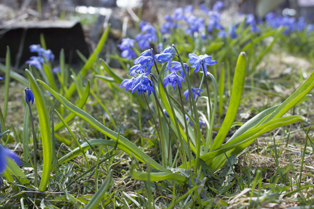 The first spring blue flowers, snowdrops, muscari grow in the garden on the green grass.