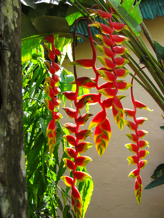 Heliconia tropical flower Stock Photo